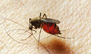 pregnant women mosquito bite
